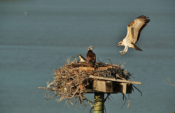 First Flight, Osprey, Chuck Martin Photo, wildlife, Florida, Key Largo, birds of prey